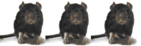 rats1-9807